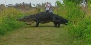 Massive Gator Spotted in Nature